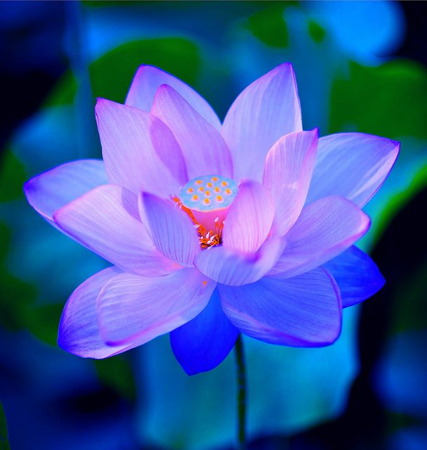 ~~Pink Blue Lotus By Stanley Zimny~~
