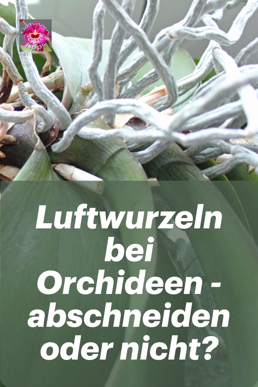 Darf man bei Orchideen die Luftwurzeln abschneiden?