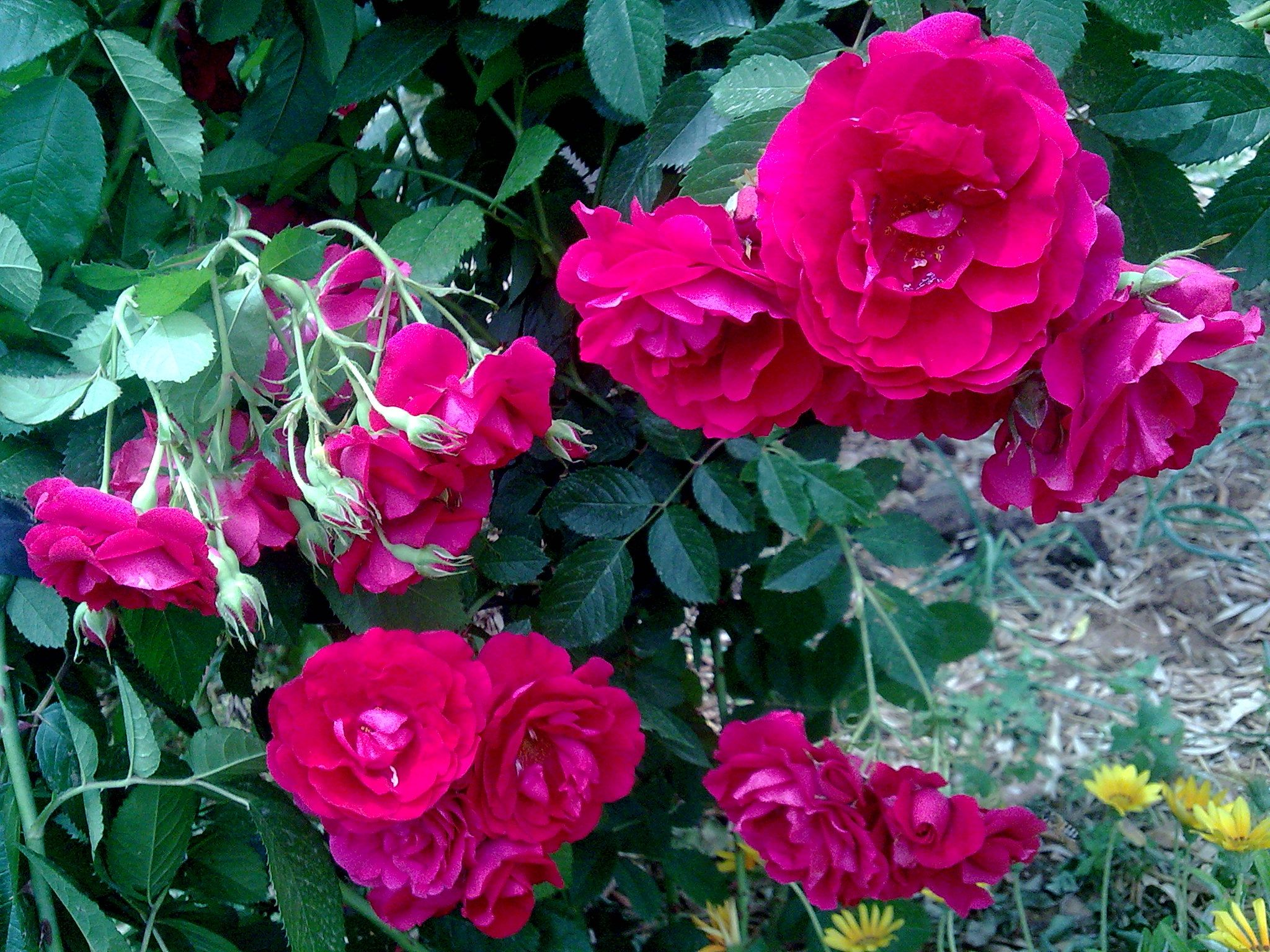 النفنوف الأحمر Flowers Rose Plants