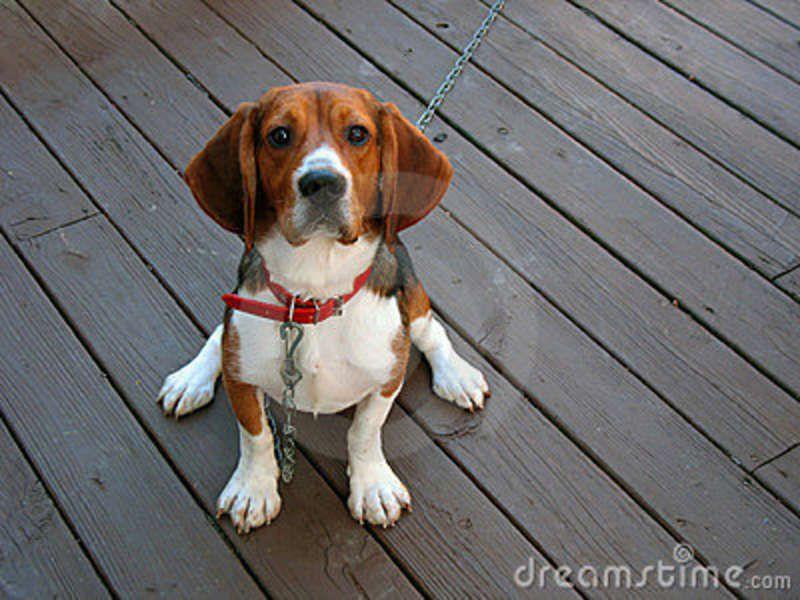 Purebred Beagle Stock Photo Image 4107110 Pet