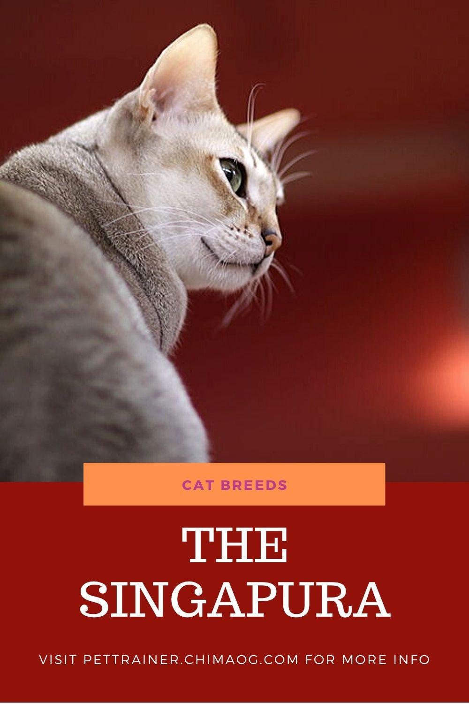 Singapura Cat Breeds in 2020 Cat breeds, Cats