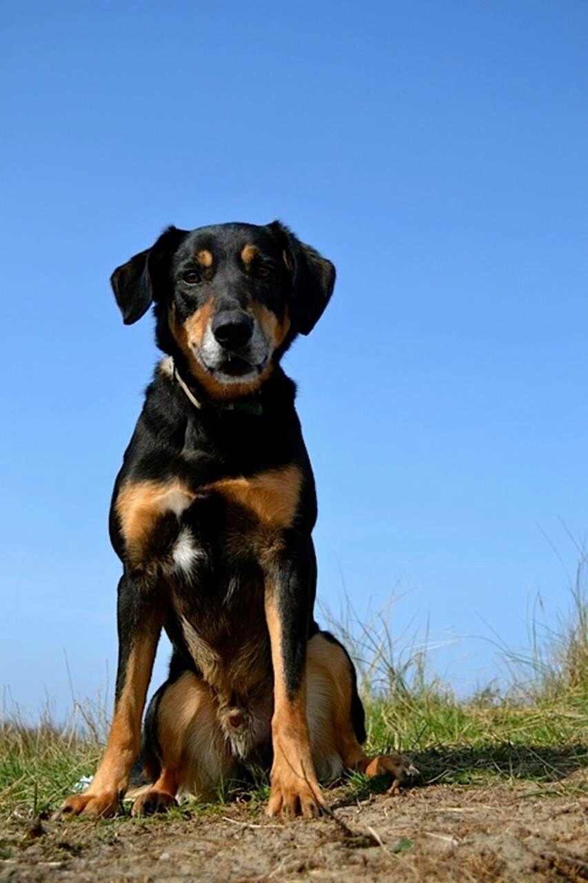 6 Yr Old New Zealand Huntaway Working Dogs Dogs Sheepdog