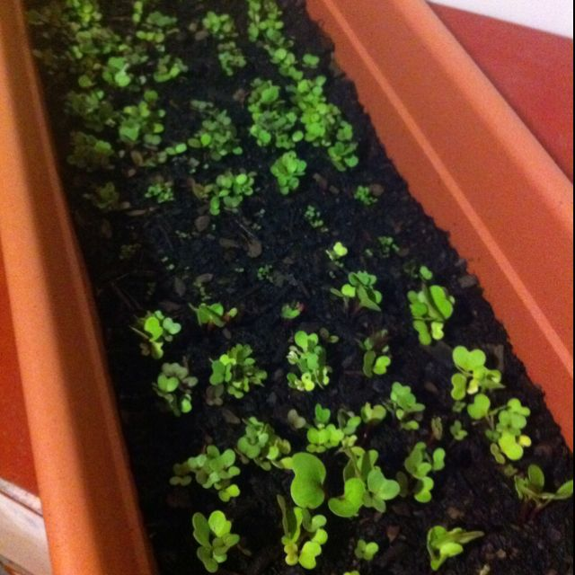 I should be able to have my first home grown salad by next week!!