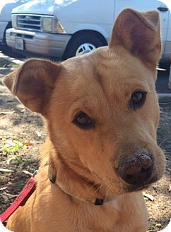 Ruby   Adopted Dog   Georgetown, TX   Finnish Spitz/Pug Mix  Finnish Spitz Lab Mix