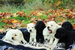 Goldadores Akc English Cream Golden Akc Chocolate Lab Puppies And Dogs For Sale Pets Classified Ad Oregon Lab Puppies Chocolate Lab Puppies Dogs For Sale