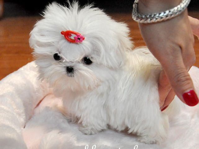 Smallest Dog Bread Teacup Puppies Maltese Maltese Puppy Cute