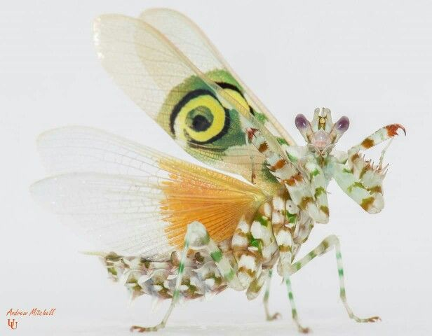 Spiny Flower Mantis Pets For Sale Animals Beautiful Insects
