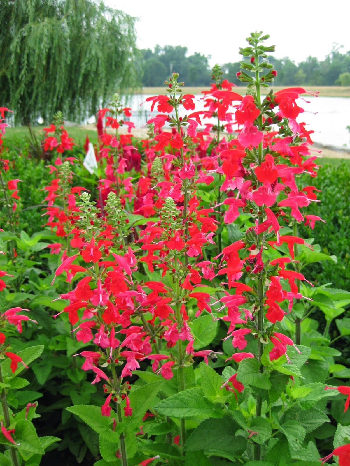 'Lady in Red' scarlet sage (Salvia coccinea) Organic