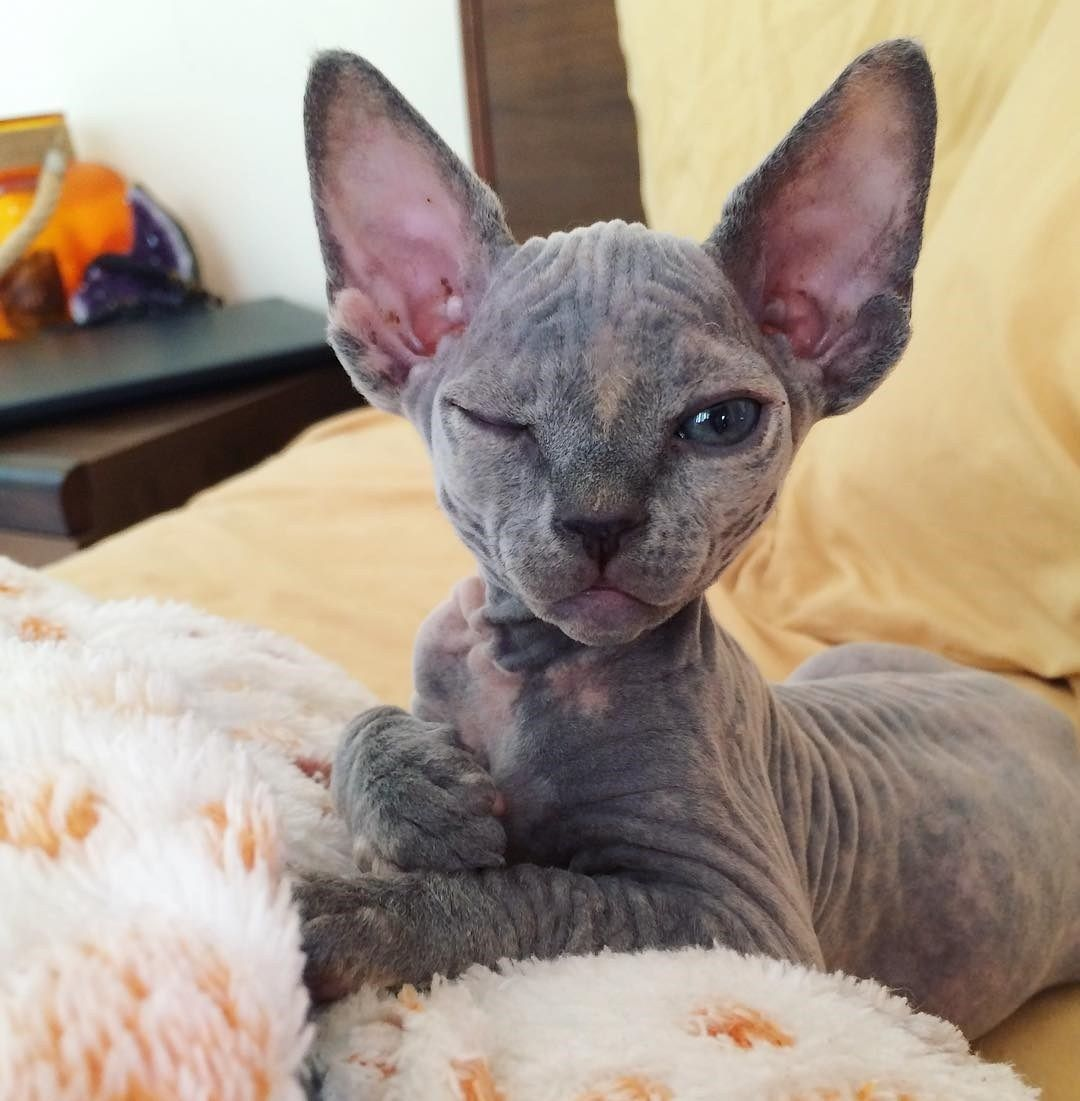 16 Sphynx Cat Pictures That Will Blow Your Mind Hairless Cat Sphynx Hairless Cat Cat Pics