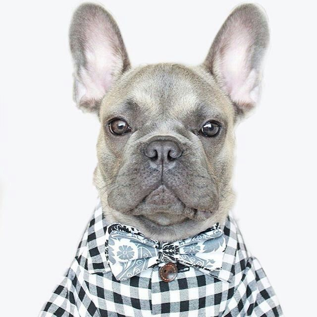Little Enzo This French Bulldog Puppy Is A True Gentleman