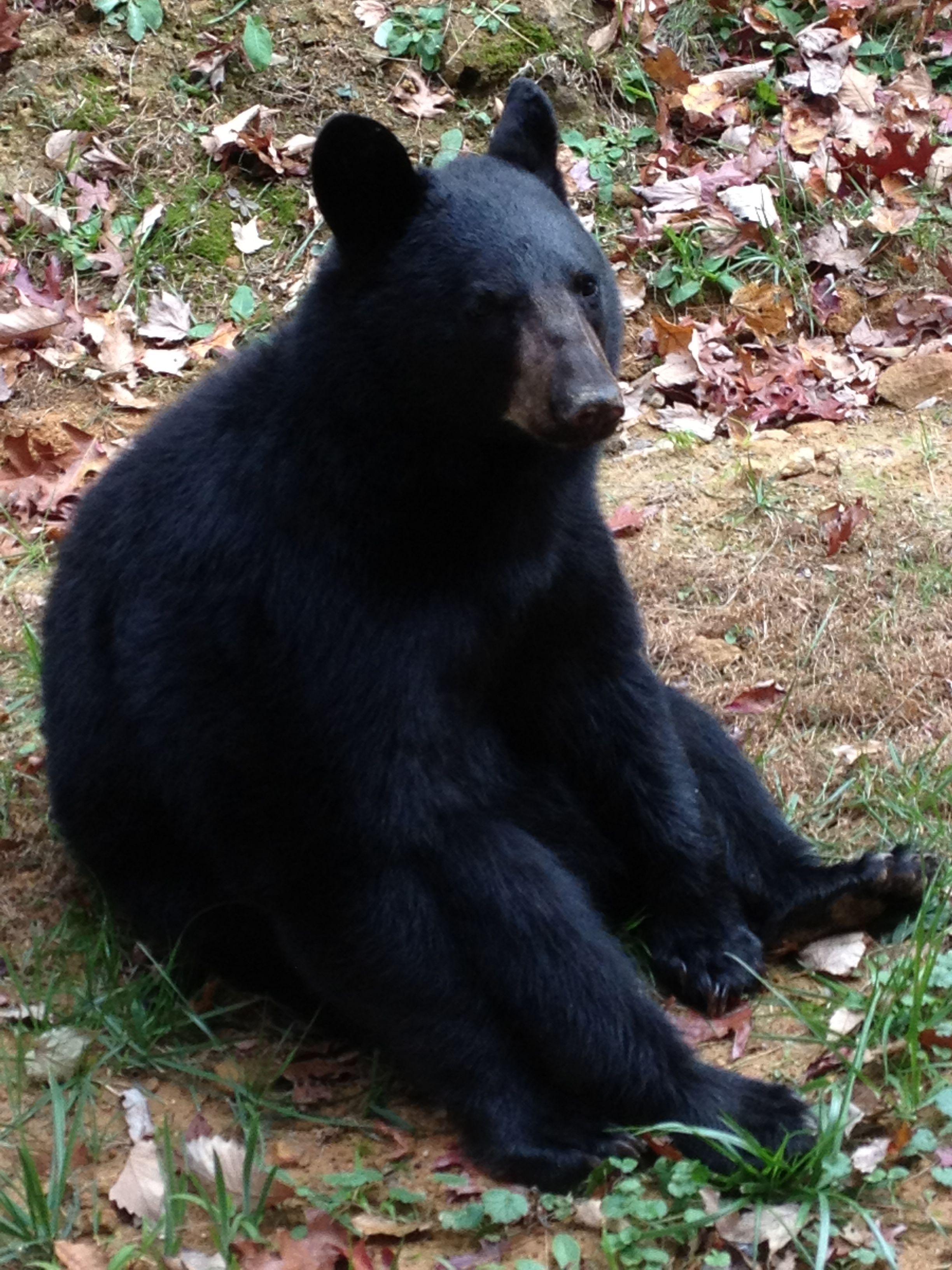In the back yard!   Black bear, American black bear, Bear