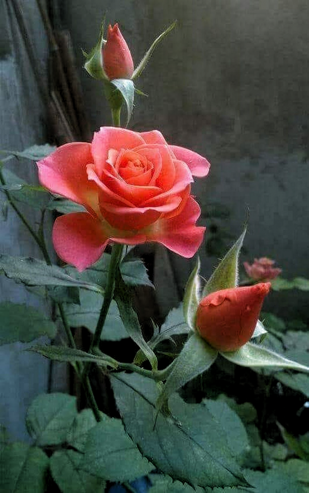 Q Belleza Q Perfeccion Dios Beautiful Rose Flowers Beautiful Roses Rose Flower