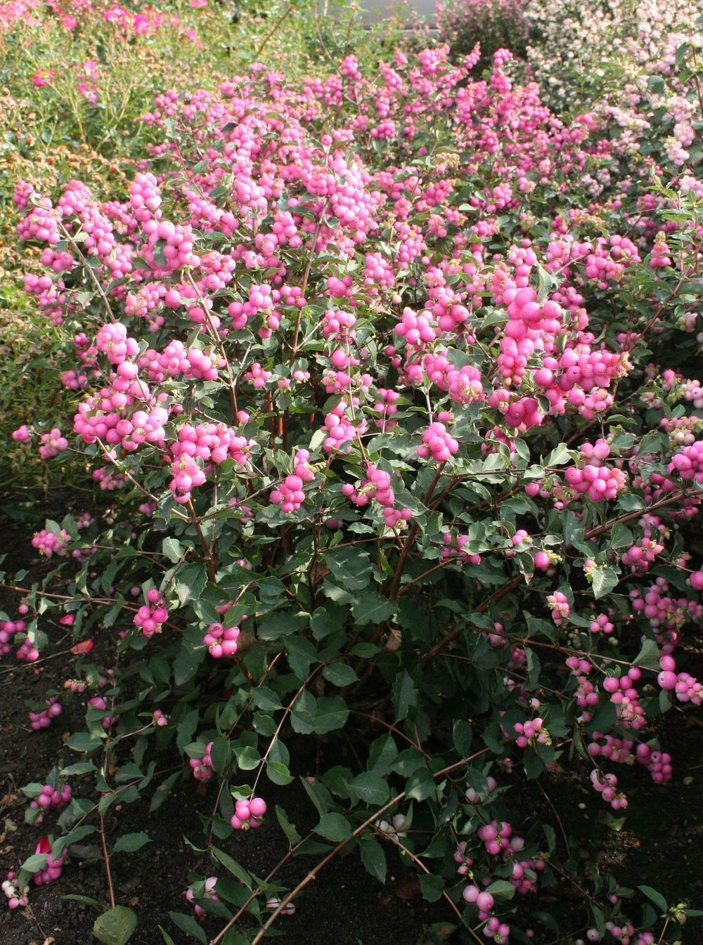 Snowberry Candy Coralberry Plump Candy Pink Berries Ripen In Early Fall As The Last Of Summers Small Pink Flowe Trees And Shrubs Small Pink Flowers Plants