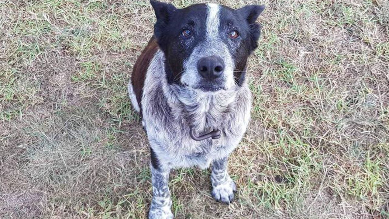 Deaf Blind Dog Stays With Missing Girl Leads Rescuers To Her Location Wowk Elderly Dogs Old Dogs Blind Dog