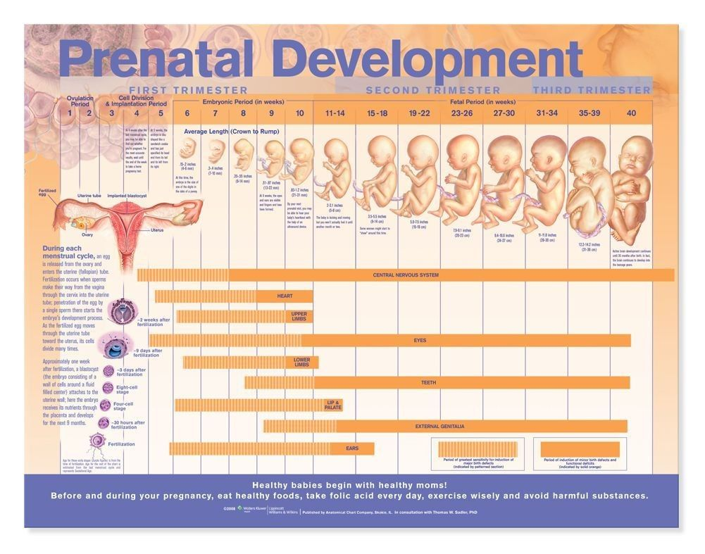 Prenatal Development Anatomical Chart  Prenatal Development
