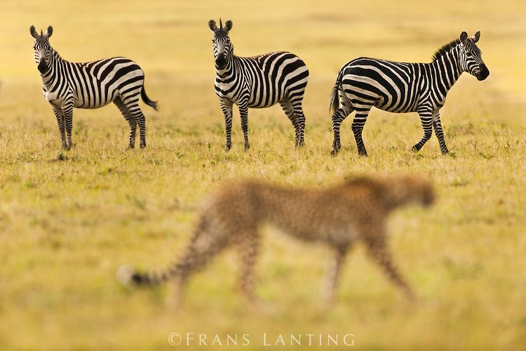 Zebras (Equus quagga) watching cheetah (Acinonyx jubatus), Masai Mara National Reserve, Kenya.