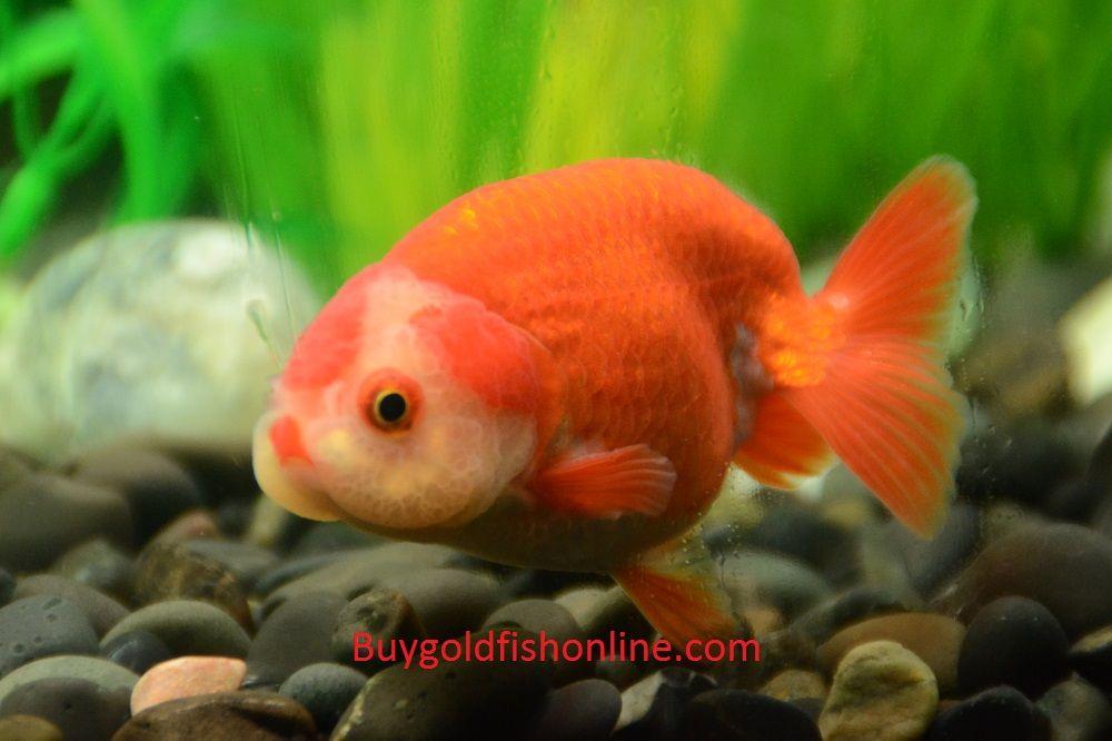 Red And White Ranchu Goldfish Buygoldfishonline Com
