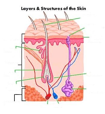 Blank Hair Follicle Diagram Learning Skin Pinterest Estetica
