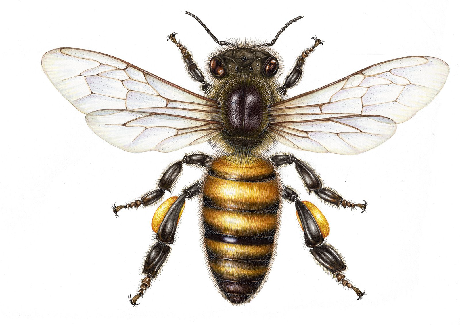 Honey bee Apis mellifera - Lizzie Harper   protect our bees ...