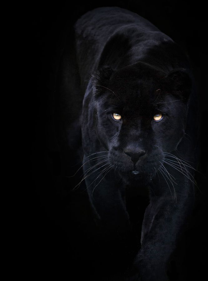 """Black on Black!"" by Sue Demetriou, via 500px -- ""Another capture of Athena the black Jaguar..."" (See her here also: http://pinterest.com/pin/175218241724809501/) -- Click through for more information about jaguars."