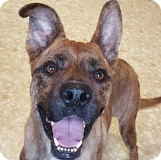 Pin By Cheryl Mcqueen Borsodi On Adoptable Dogs Pets Boxer Mix