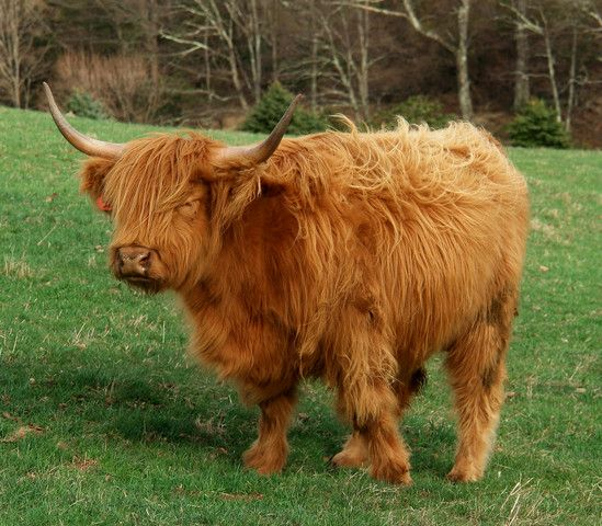 Love the Scottish Highland Cow.