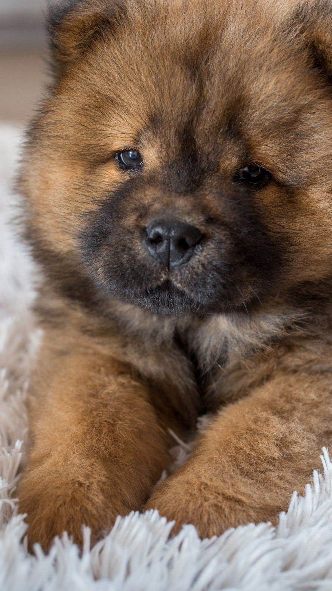 Pics Of Puppies Backgrounds For Android 2020 Android Wallpapers Chow Chow Wallpapers Wallpaper Cave In 2020 Puppy Backgrounds Black Chow Chow Puppies Puppy Wallpaper