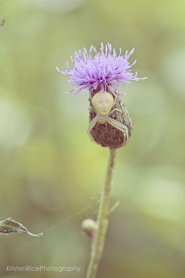 White crab spider on lavender purple clover tifft nature