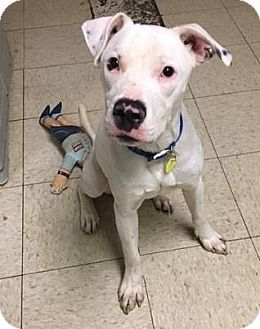 Cleveland Oh Boxer Tea Cup Poodle Mix Meet Royce A Dog For