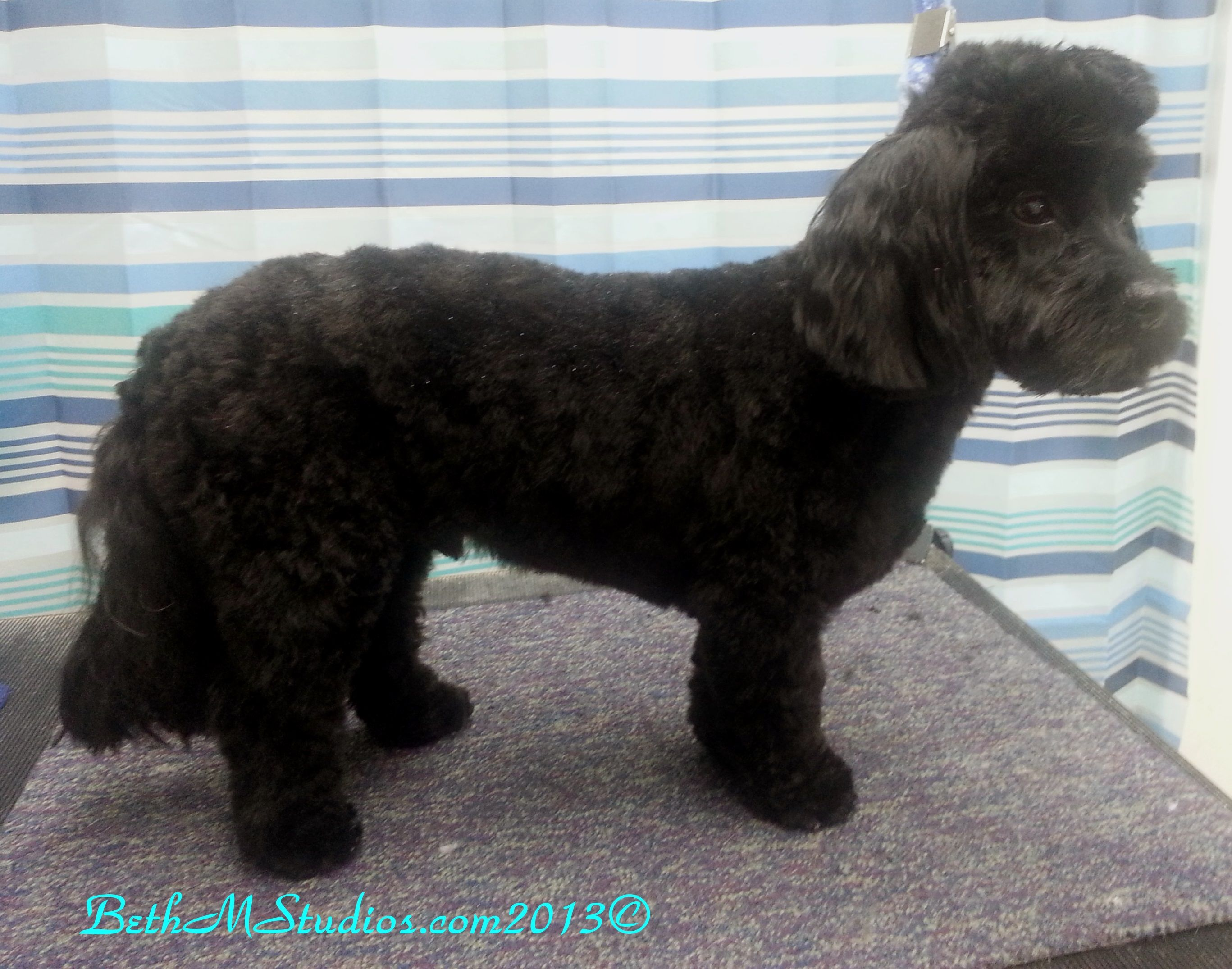 Pierre Toy Poodle Mix After A Long Pet Style With A Mohawk Http Www Gooddogsspaandstudio Com Poodle Mix Pet Style Dog Spa