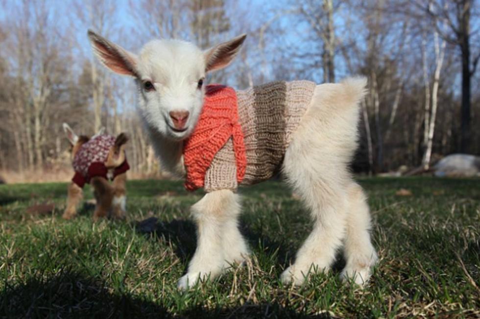 #cute #cuteanimals #cutegoats #goats #pets #petlovers #petstagram #petsofinstagram #sweater #animals #animallovers #nature #outdoor #outdoors