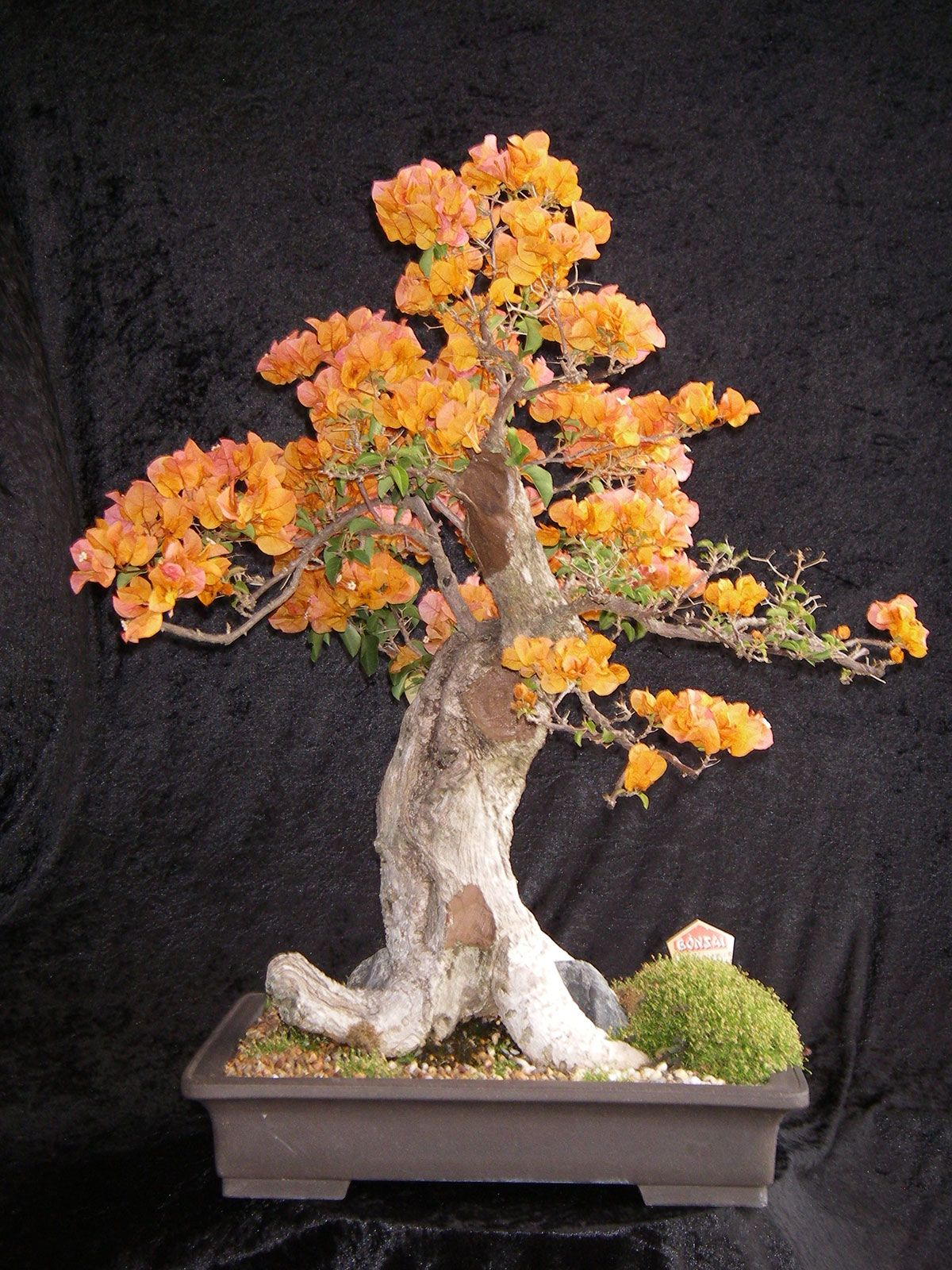 bougainvillea bonsai northside nursery bonsai pinterest bonsai orchidee kaktus s pflanzen. Black Bedroom Furniture Sets. Home Design Ideas