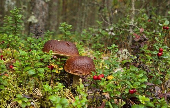 Картинки по запросу картинки лес грибы ягоды | Грибы ...