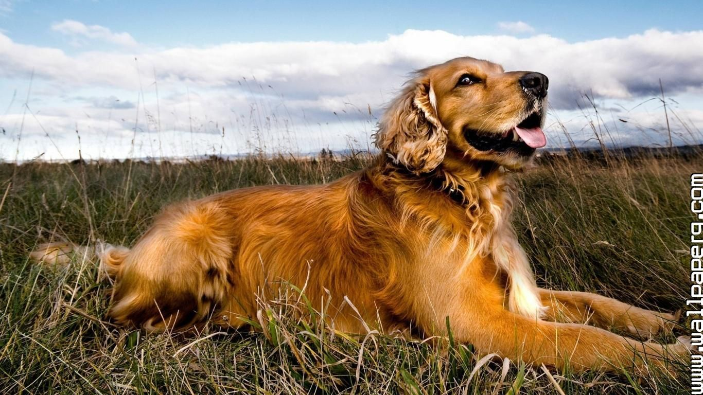 Spaniel Dog Wallpaper Wide In 2020 Dogs Golden Retriever Dog Wallpaper Golden Retriever Wallpaper