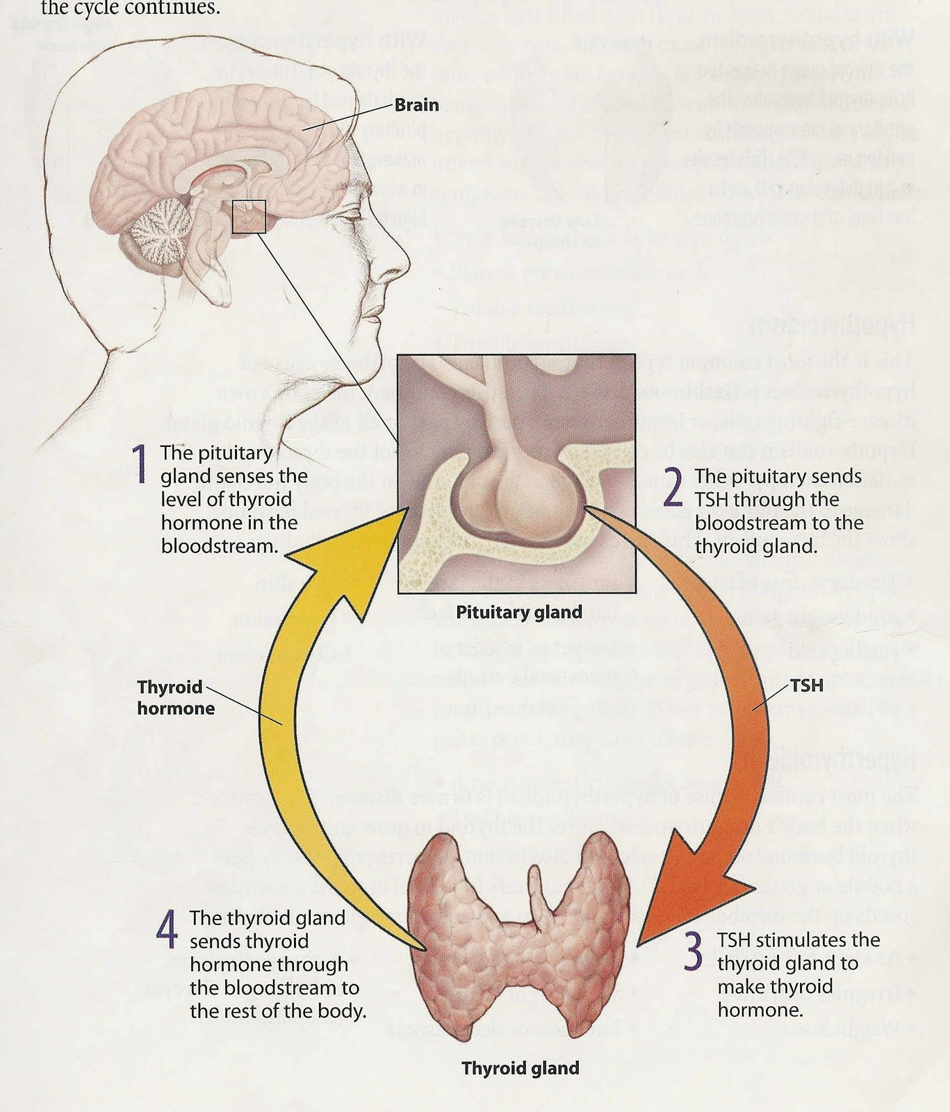 Pituitary Here S How They Work The Pituitary Gland Monitors The