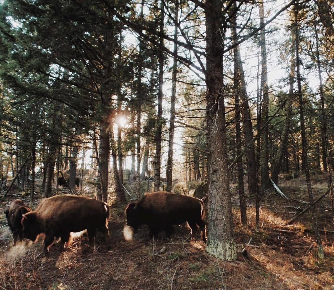 Nagsyl allthetreesofthefield dat bison dat bison