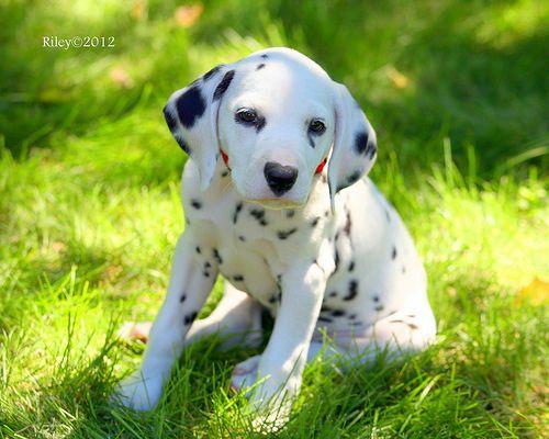Dalmatian Puppy | Dalmatian puppy, Cute baby animals, Cute ...
