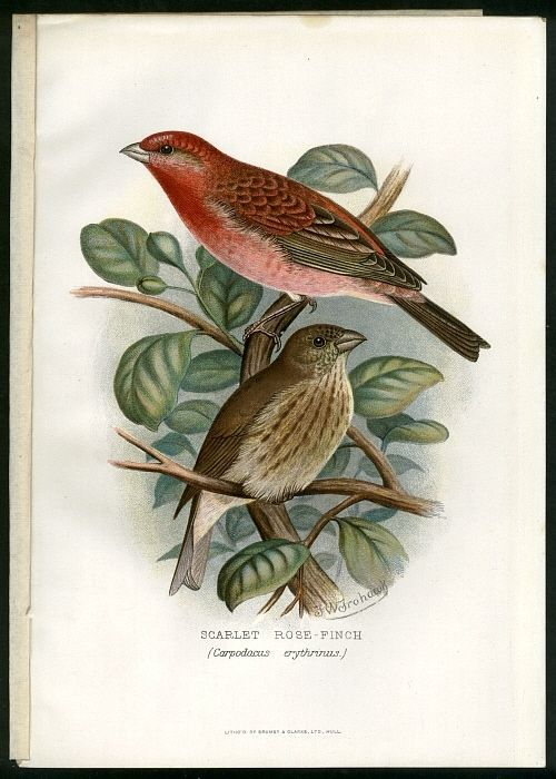 Scarlet Rose Finch Great 1899 Bird Chromo Bird Prints Bird Illustration Bird Art