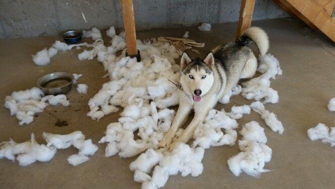 Naughty Siberian Husky Siberian Husky Husky Doggy