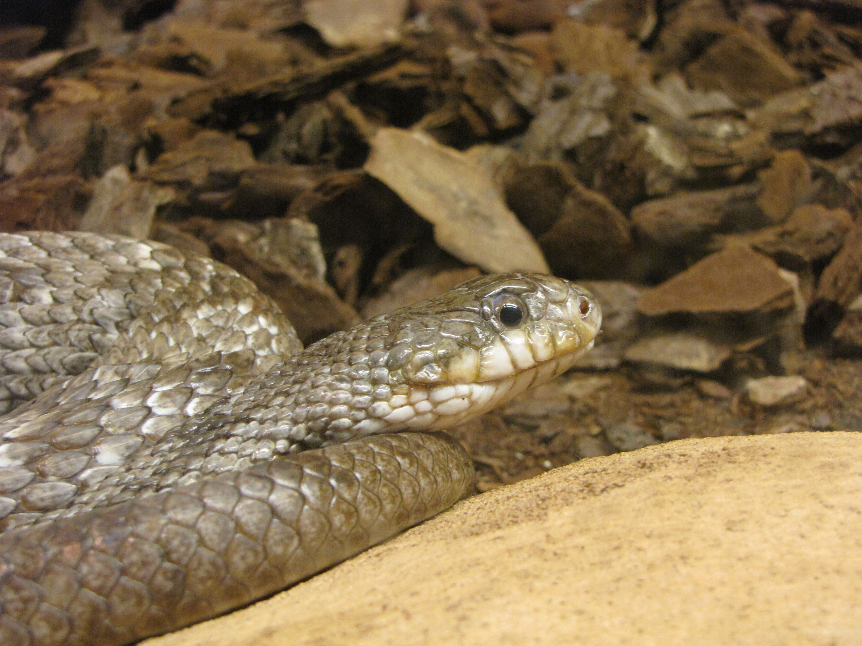 a picture and name of wisconsin snakes google search gray rat