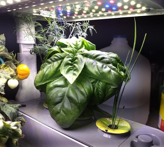 What S This A Basil That Plays Nice Aerogarden 640 x 480