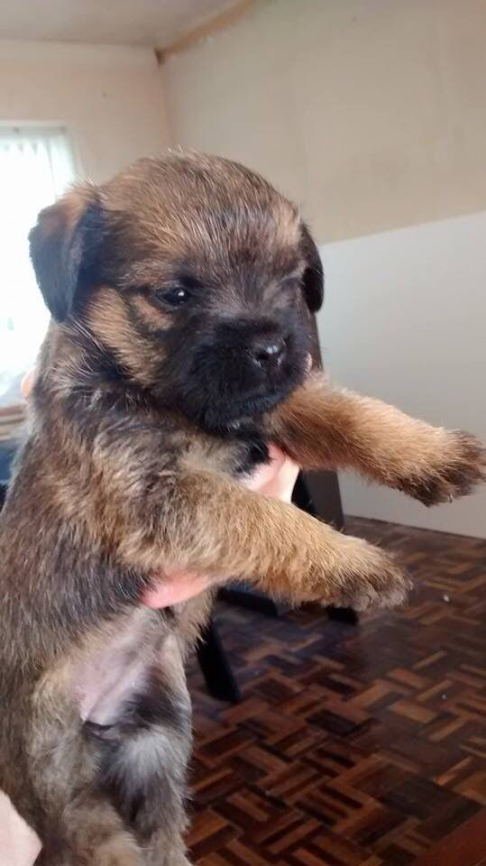 5 Week Old Border Terrier Frazzles Border Terrier Dogs Terrier