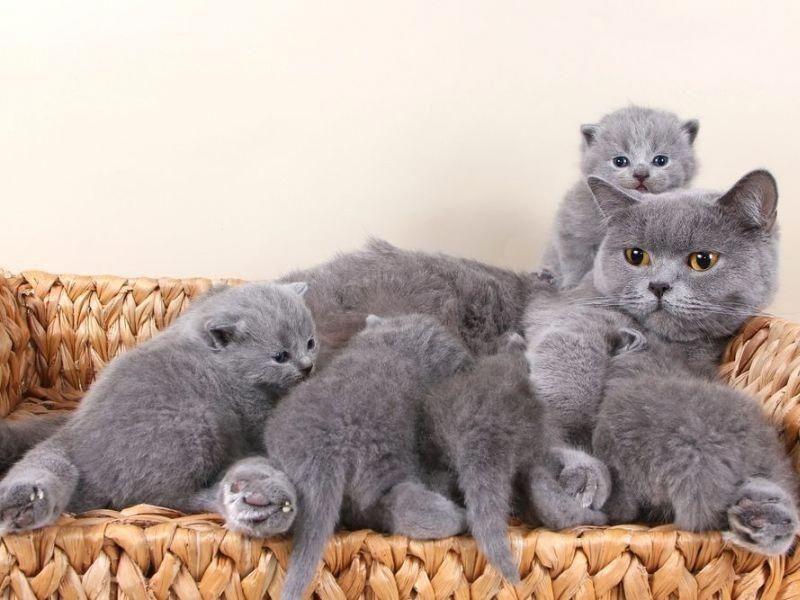 Familienbande Britisch Kurzhaar Katze Mit Nachwuchs Bild