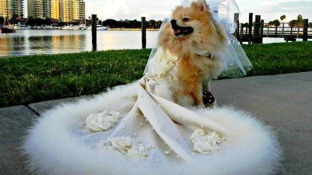 Hermosas fotos de perras vestidas para su boda, que te emocionarán