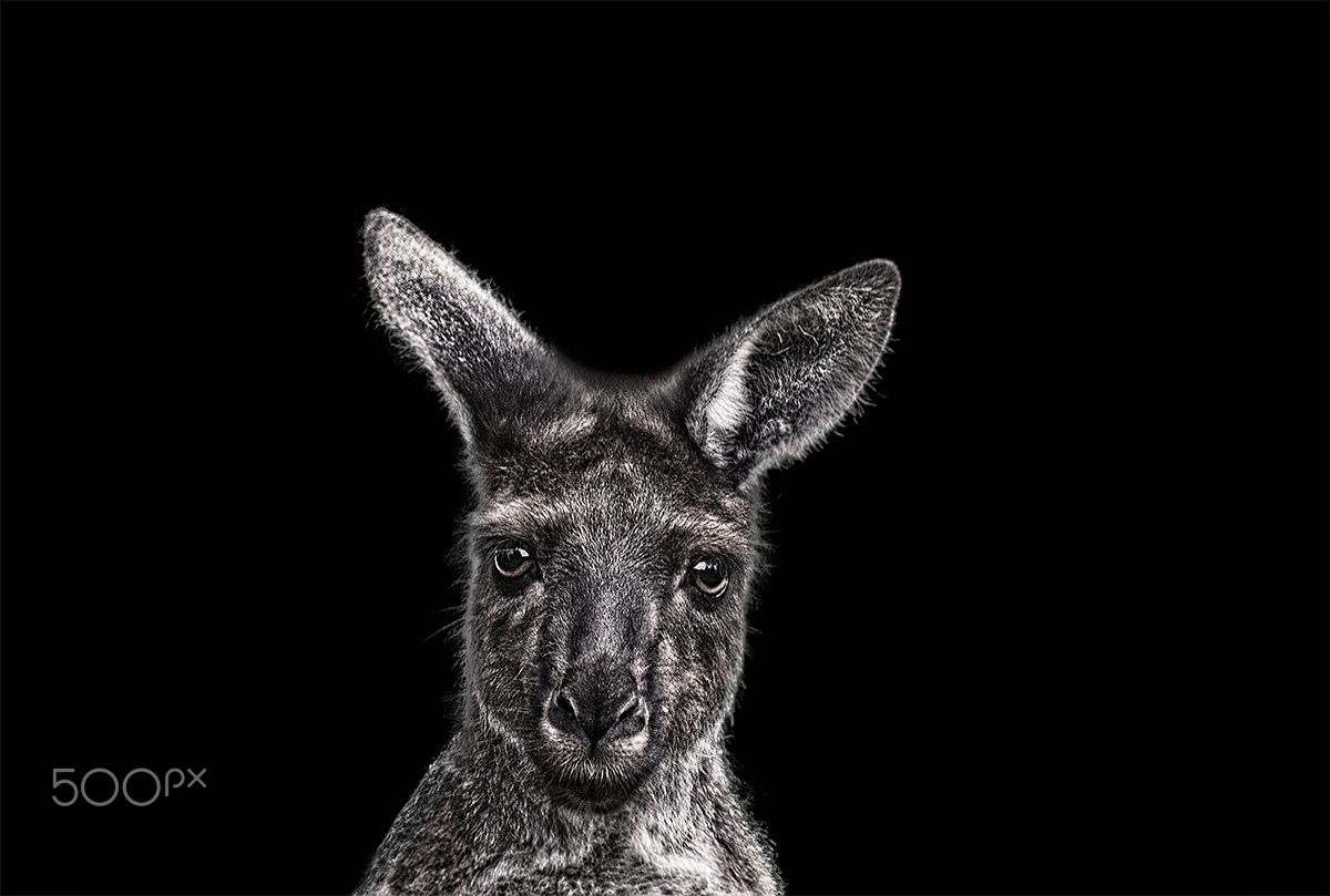 Animal Series- Kangaroo - Black and white close-up portrait of a kangaroo.  If you like, you can follow my steps also on https://www.instagram.com/lichteditor , https://www.etsy.com/shop/Lichteditor  ,  http://de.dawanda.com/shop/Lichteditor , http://www.lichteditor.de