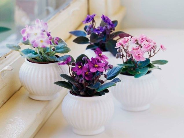 african violets cute flowers floral african flower pretty flowers violets - African Violets