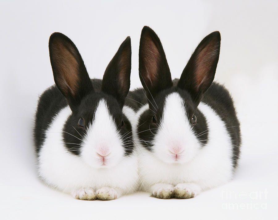 Rabbit black white paws picture — photo 8