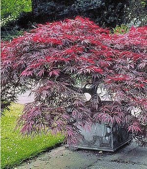 1 Pflanze Acer palmatum Japanischer Ahorn /'Katsura/'