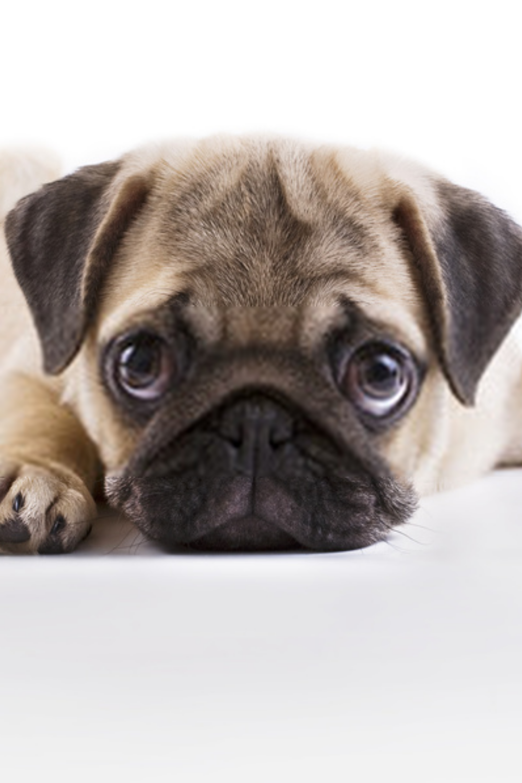 Cute Pug Puppies Cutest Pug Puppies Pug Puppies Cute Pug Puppies Cute Pugs