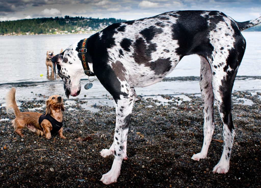 Dachshund Puppy Plays With Great Dane Really Cute Dogs